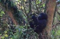Восточные гориллы находятся на грани исчезновения, - экологи
