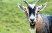 В Днепре трое пьяных мужчин украли козу