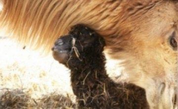 В одесском зоопарке у пары верблюдов родилось потомство