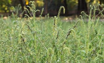 У Дніпрі триває боротьба з амброзією агрохімічним методом