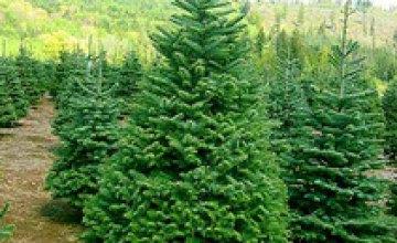 Сегодня на пр. Гагарина высадят 50 елок