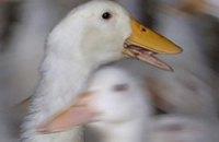 Украина запретила импорт птицы из Великобритании и Германии