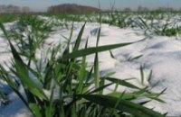 В Украине под ледяной коркой находится 6,7% посевов озимых зерновых
